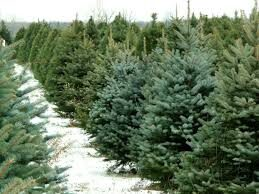 Law Services - Illegal felling of coniferous trees in the pre-New Year period